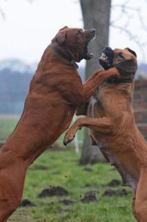 Aggresive Auseinandersetzung zwischen Hunden